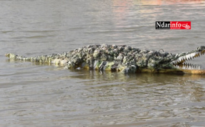 """Saint-Louis : Ce """"magicien"""" transforme le plastique en crocodile (vidéo)"""