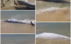 Encore des échouages de cétacés sur les côtes mauritaniennes