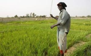 Au Sénégal, le long chemin vers l'autosuffisance en riz