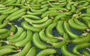 Sénégal : La filière banane perd plus de 334 millions FCFA