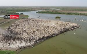 Devant la riziculture intensive et les végétaux envahissants, le parc National du Djoudj se bat pour sa survie (vidéo)