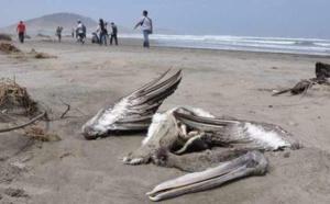 Mauritanie : Découverte d'oiseaux morts et des cas de grippe aviaire