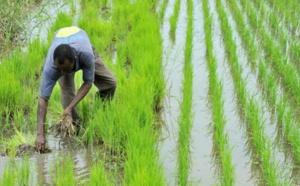 Riziculture dans la vallée : une nouvelle dynamique d'AfricaRice va toucher 5.300 bénéficiaires (vidéo)