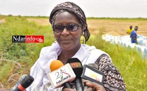 SAED : Les récoltes de la campagne de contre saison sèche-chaude 2016, ont démarré.