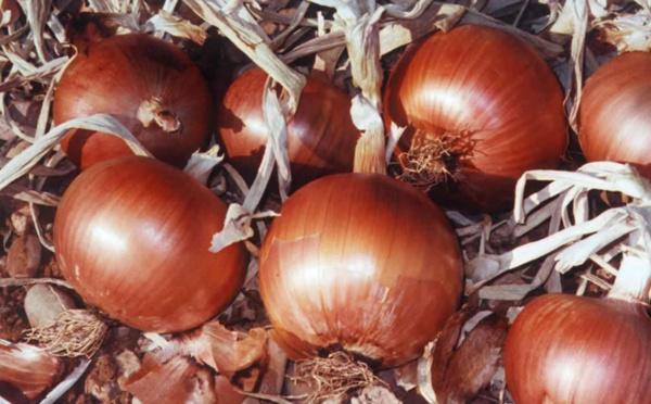 Production de poudre d'oignon séché : Les bons points de l'Ugb