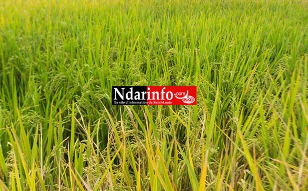 La production de riz a atteint un niveau record en 2016.