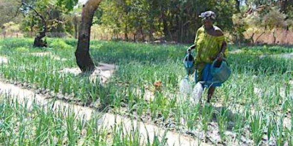 Sénégal : les femmes possèdent moins de 20% des terres agricoles, selon un rapport de la FAO