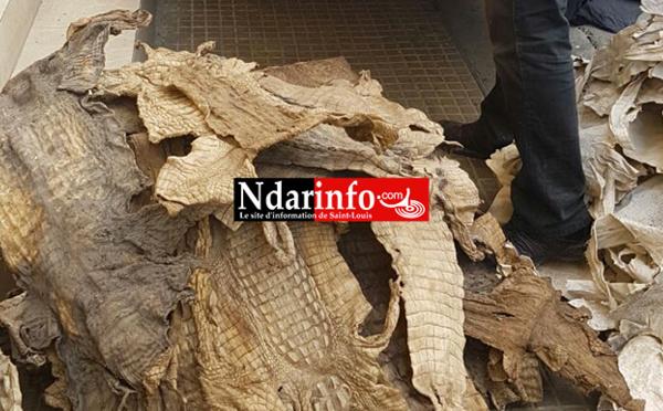CRIMINALITE FAUNIQUE : quatre trafiquants arrêtés avec 558 peaux de reptiles protégés