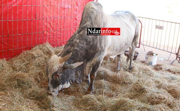 Campagne de vaccination du bétail : les éleveurs de Saint-Louis sensibilisés