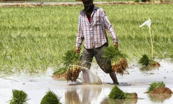 La vente du riz paddy, le défi à relever