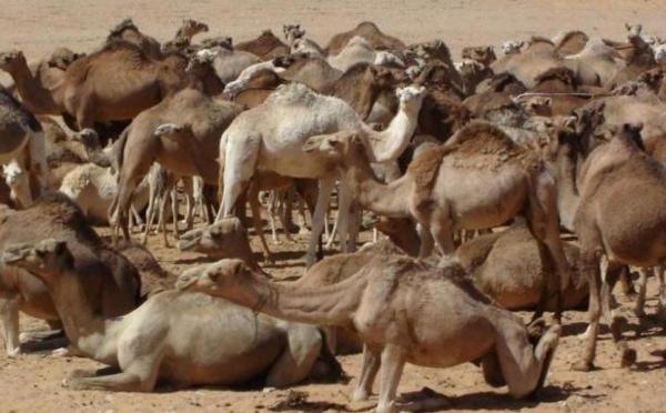 Transhumance du cheptel mauritanien au Sénégal : Macky SALL envoie un émissaire à Ould Abdel Aziz