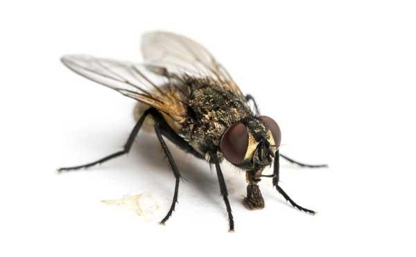 Prolifération dangereuse des mouches à Saint-Louis : quels dangers sur votre santé ?