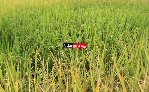 Campagne agricole 2018/2019 dans la vallée : La récolte du paddy a démarré