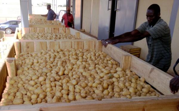 Il n'y a pas de pénurie de pomme de terre au Sénégal, assure le directeur de l'ARM