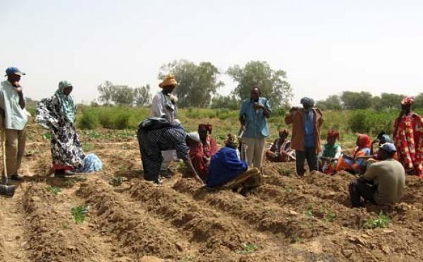 Mamadou Dème (Dg de la Saed) : '80 % de la production sénégalaise en riz vient de la vallée'