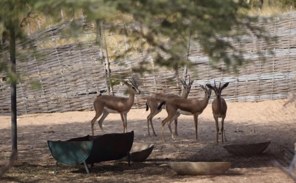 La réserve de Guembeul réintroduit des animaux disparus au Sénégal