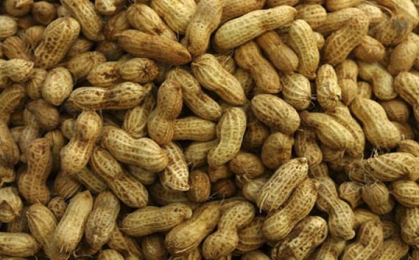 Saint-Louis: Le service départemental de l'agriculture reçoit 55 tonnes de semences d'arachide