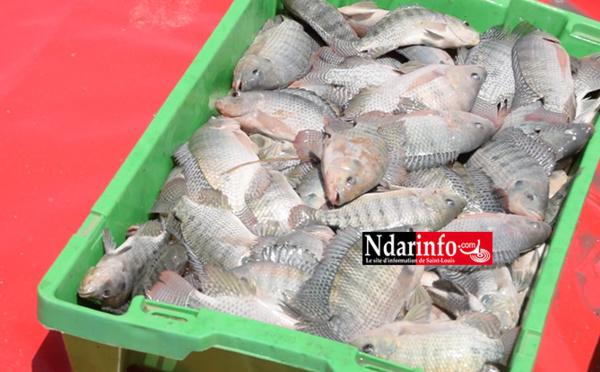 Aquaculture : première récolte à la ferme de Ndiawdoune (vidéo)
