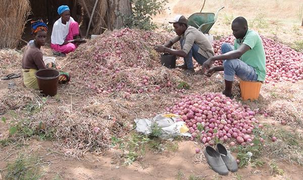 FASS-NGOM : le PDIDAS booste la production d'oignons (vidéo)