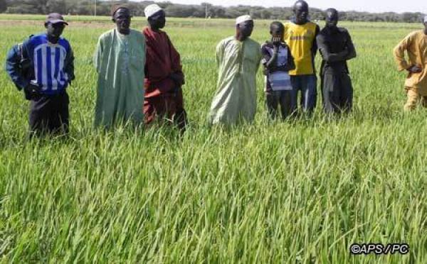 Des producteurs de riz de Dagana se mettent à de nouvelles techniques culturales