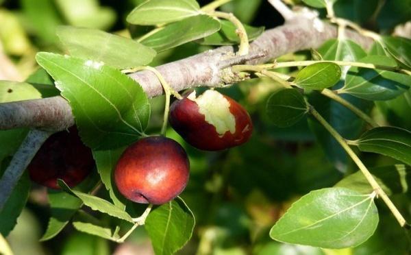 Recherche agricole : Du jujube aux dimensions de pomme grâce au greffage