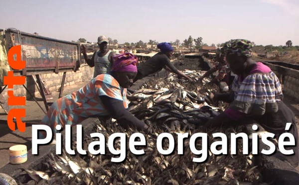 Sénégal : pilleurs des mers   Vidéo