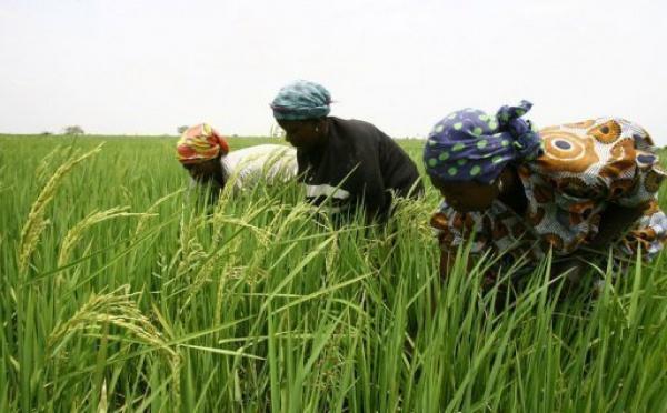 Riz : les producteurs de la vallée sollicite un accompagnement de l'Etat