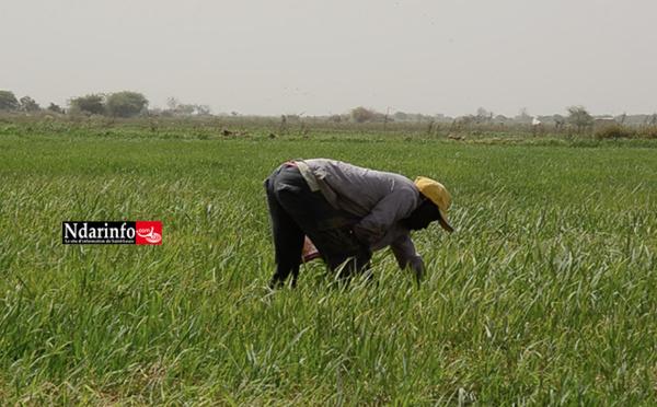 Saint-louis : Plus de 54 000 hectares emblavés en contre-saison chaude (DRDR)