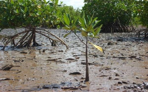 Saint-Louis-Environnement: Un film sensibilise sur la protection de la mangrove.[VIDÉO]