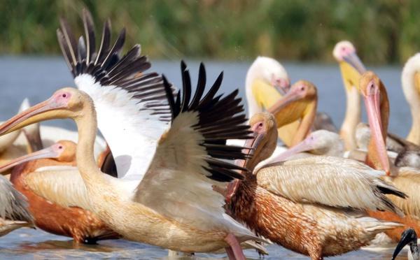 Le delta du fleuve Sénégal, zone pilote d'un projet de la FAO sur les oiseaux