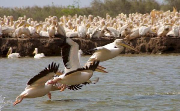 SÉNÉGAL : la FAO soutient la conservation des oiseaux dans le delta du fleuve Sénégal
