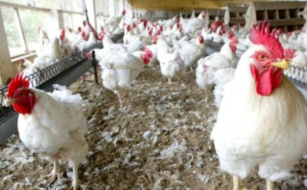 La Mauritanie suspend l'importation de la volaille et ses dérivés en provenance du Sénégal