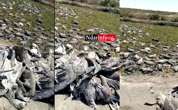Djoudj : les images de la catastrophe (vidéo)