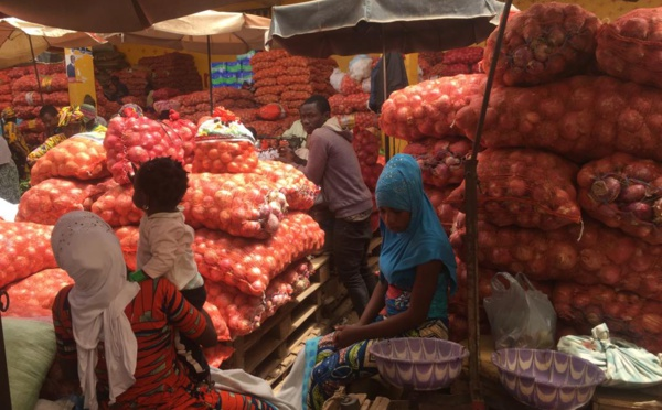 Production d'oignon : à Potou, les producteurs appellent l'état à éviter la saturation du marché