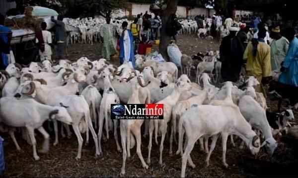 [VIDEO] Cherté du mouton: Ce qu'en pensent les saint-louisiens.