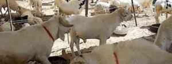 Rareté et cherté du mouton : l' ASCOSEN accuse l' Etat et les acteurs de l'élevage