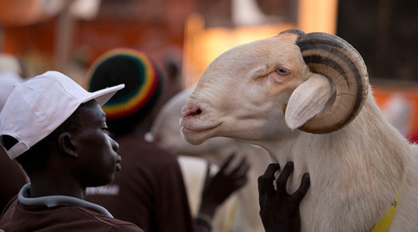 Tabaski 2014 : Aminata Mbengue Ndiaye table sur 720.000 moutons