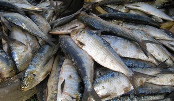 Le Yaboye (sardinelle) doit être réservée à la pêche artisanale (acteurs)