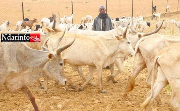 GNITH : SENHUILE libère 50 ha d'aliments de bétail pour les éleveurs locaux.