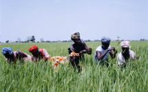 Gestion integrée de la riziculture dans la vallée : 24 variétés de riz créées par AfricaRice